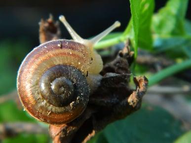 Golden_Ratio_on_a_snail_shell