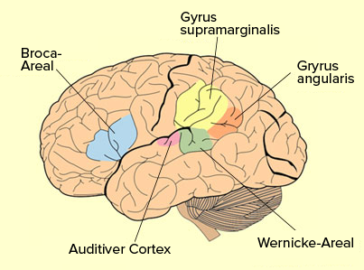 Das menschliche Hirn