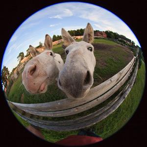 HubSpot-Pferde aus nächster Nähe mit einem Smartphone mit Fischaugenobjektiv fotografiert